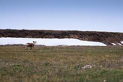 Caribou, Aichilik River Drainage, Arctic National Wildlife Refuge (ANWR), Alaska, US
