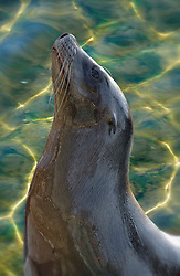 The main population of California sea lions is found along the west coast in the Pacific Ocean. Harbor seals are commonly found in the coastal waters of the North Atlantic and Pacific oceans. While both are marine mammals and powerful, graceful swimmers, sea lions and seals have distinct differences. Harbor seals and other ?true? seals do not have external ear flaps, while sea lions, along with fur seals and walruses, have visible, external ear flaps. Sea lions can rotate their hind flippers under their bodies, allowing them to walk easily on land. Seals do not have this ability and move about in an inchworm-like motion.