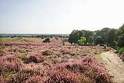 Nederland, Mook, 23-8-2019Natuurgebied De Mookerheide. Nu het even geregend heeft staat de hei mooi in bloei. Toch zijn er door de droogte van dit en viorig jaar veel heistruiken dood gegaan, verdord.Ook bekend om de historische Slag op de Mookerheide op 14 april 1574. De Mookerhei is een natuurgebied ten oosten van Mook in de provincie Limburg. Zij ligt op een uitloper van de Nijmeegse stuwwal. In het zuidelijke deel groeit struikheide die normaal in augustus prachtig bloeit. Dit gebied is onderdeel van de wandelroute, pelgrimsroute, walk of wisdom door het rijk van Nijmegen.Foto: Flip Franssen