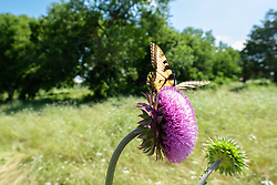 Eastern Tiger Swallowtail on purple thistle, Big Spring historical and natural area, Great Trinity Forest, Dallas, Texas, USA