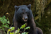 A large adult American black bear sits on a hillside at Anan Creek in the Tongass National Forest, Alaska. Anan Creek is one of the most prolific salmon runs in Alaska and dozens of black and brown bears gather yearly to feast on the spawning salmon.