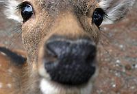 Rådyr, deer, cervidae