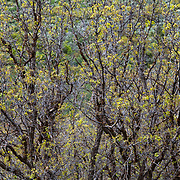 The branches and leaves of a Gamble's Oak in spring highlight and abstract reference to Jackson Pollock.