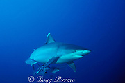 silvertip shark, Carcharhinus albimarginatus, with rainbow runners, Burma Banks, Andaman Sea, Thailand ( Indian Ocean )