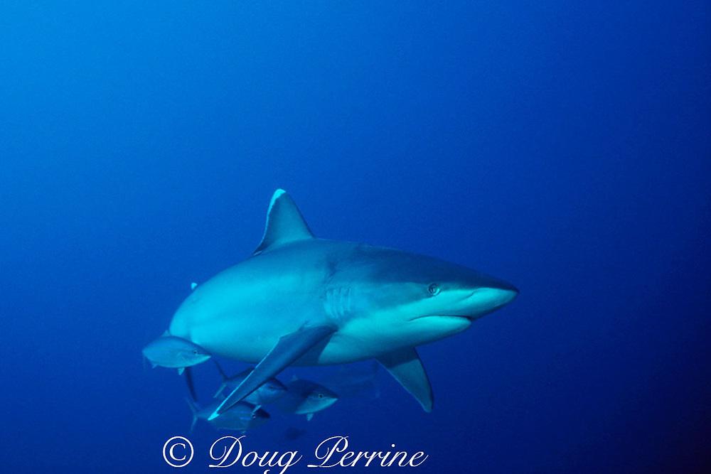silvertip shark, Carcharhinus albimarginatus, with rainbow runners, Burma Banks, Andaman Sea, Thailand ( Indian Ocean )