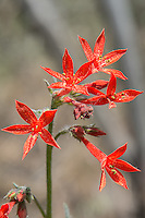Also known as skyrocket, scarlet gilia is a very tall member of the phlox family and a favorite of hummingbirds, various moths, elk and deer. It can be found throughout most of the western half of the United States and north into British Columbia in rocky deserts, mountain meadows, and subalpine rock fields. Once the scarlet gilia blooms, the whole plant dies, but pollinated seeds will grow the next generation of these spectacular wildflowers! This four-foot tall scarlet gilia was photographed deep in the desert canyons south of Ellensburg, Washington.