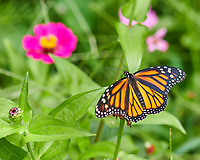 Monarch Butterfly. Image taken with a Nikon D850 camera and 105 mm f/2.8 macro lens.