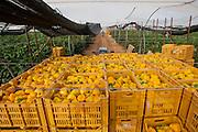 picking yellow peppers- desert farming, arava, israel