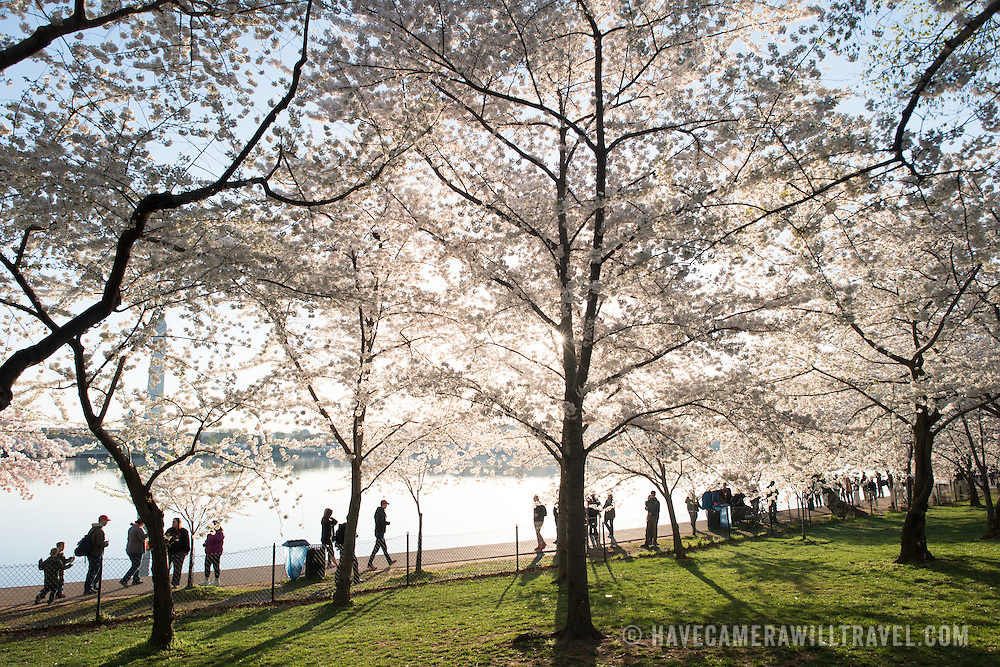 Washington DC. Tourists walking along the waterfront of the Tidal Basin with the famous cherry blossoms in full bloom.