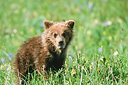 Grizzly bear cub in wildflowers at Grassy Pass, Denali National Park.