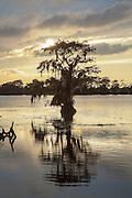 Single cypress tree at sunset