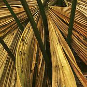 Licuala Frond<br /> Daintree NP<br /> Wet Tropics WHA,<br /> FNQ
