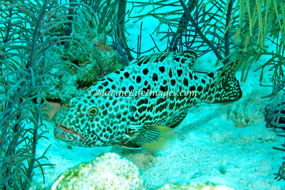 Yellowfin Grouper inhabit reefs in Tropical West Atlantic; picture taken San Salvador, Bahamas.