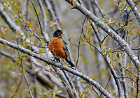 American Robin (Turdus migratorius) perched in tree, French Basin trail, Annapolis Royal, Nova Scotia, Canada,
