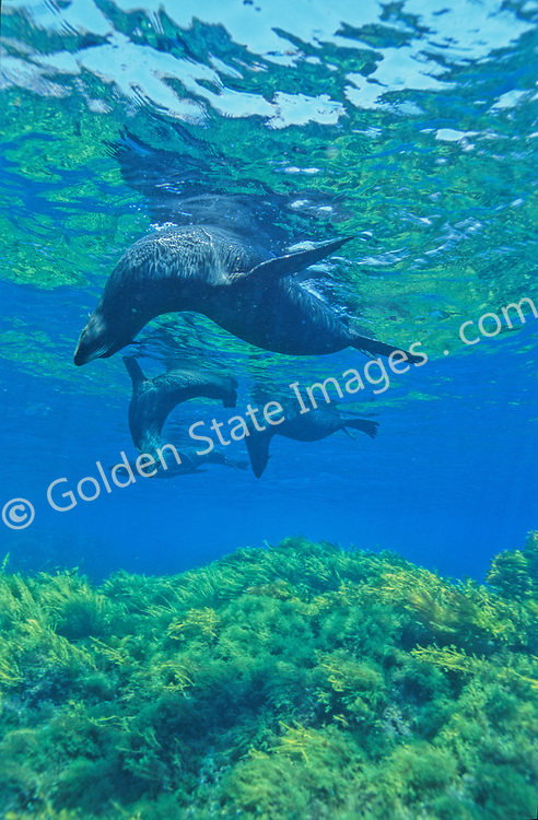 By the late eighteen hundreds had been hunted nearly to extinction. Still rarely seen other than at Guadalupe and San Benitos Islands Baja Mexico.    <br /> <br /> Often when lounging on the surface groups of Fur Seals will hang in a head down position. It is believed this is done to keep a keen eye out for predators such as Great White Sharks which are found in large numbers at Guadalupe Island.    <br /> <br /> Range: Channel Islands to Cedros Island Baja Mexico    <br /> <br /> Species: Arctocephalus townsendi