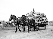 9969-2047. Team pulling in a load of hops at Riverside Hop Farm. September 12, 1935.Riverside Hop farm, owned by A.J. Ray and Son, Inc., Newberg, Oregon.