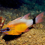 Ringtaiedl Cardinalfish form aggregations on sheltered reefs. Picture taken Fiji.