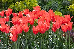 Tulipa 'Temple's Favourite'