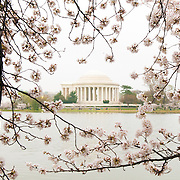 The Yoshino Cherry Blossoms around the Tidal Basin this year celebrate their 100th anniversary of the first planting in 1912. With the unseasonably warm winter, the peak bloom has come very early this year. In this photo taken on March 18, 2012, the blossoms are in peak bloom.