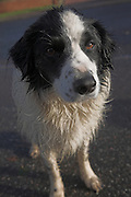 Black and white collie sheepdog