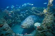 Goliath grouper or jewfish, <br /> Epinephelus itajara, Critically Endangered species,<br /> in shipwreck, Florida ( Gulf of Mexico )