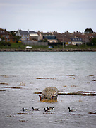 Discarded Armchair, Bull Island, Dublin, with Light Bellied Brent Goose,  branta bernicla
