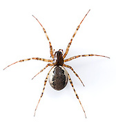 Nereine montana - Female. This common large Linyphiid builds sheet-like hammock webs in low bushes but is usually hidden in a reteat until nightfall. It is adult in early summer.