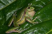 Silver Marsupial Frog (Gastrotheca plumbea)<br /> base of Chimborazo Volcano (Highest mountain in Ecuador)<br /> Andes<br /> ECUADOR, South America<br /> IUCN STATUS: Vulnerable<br /> RANGE: Pacific slopes of Andes of northern and central Ecuador 1300 -3200m