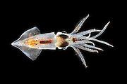 [captive] Squid (Abraliopsis atlantica) Atlantic Ocean, close to Cape Verde | Atlantischer Ozean, nahe Kap Verde