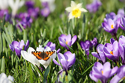 © Licensed to London News Pictures. 08/03/2014. Basingstoke, Hampshire, UK. A Small Tortoiseshell butterfly basking on blooming crocus flowers in the late afternoon sunshine in Hampshire today, 8th March 2014. The weather forecast suggests weather will be dominated by an area of high pressure over the coming days. Photo credit : Rob Arnold/LNP