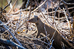 Mongoose, Sabi Sands Game Reserve