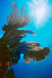 sea fan, Gorgonia sp., Looe Key, Florida Keys National Marine Sanctuary, Florida, USA, Caribbean Sea, Atlantic Ocean