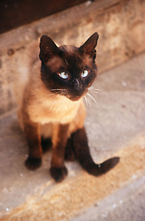 Siamese cat sitting outside on stone steps,