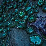 Ochre sea star (Pisaster ochraceus) and Giant green sea anemones (Anthopleura xanthogrammica) Olympic National Park, Washington, USA  © Michael Ready