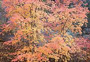 stunning autumn colors on vine maple trees, Zion Nat. Park, UT.