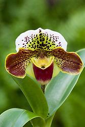 Slipper orchid - Paphiopedilum 'Corbiere'