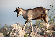 Stock photos of Mountain goats in the Dalamtian hills - Dubrovnik, Croatia .<br /> <br /> Visit our CROATIA HISTORIC SITES PHOTO COLLECTIONS for more photos to download or buy as wall art prints https://funkystock.photoshelter.com/gallery-collection/Pictures-Images-of-Croatia-Photos-of-Croatian-Historic-Landmark-Sites/C0000cY_V8uDo_ls
