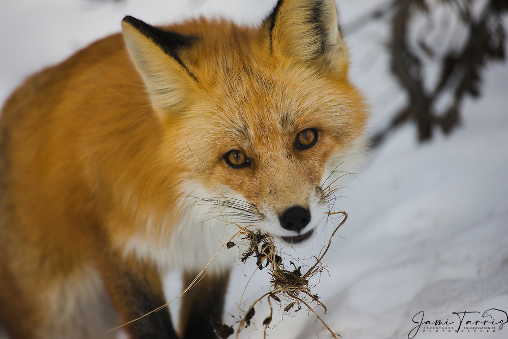 A Canadian red fox ( Vulpes vulpes ) chewing playfully on dead grass on a snowy hill, Cowley Lake, Yukon Territory, Canada