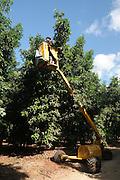 picking avocados (Persea americana). with a hydraulic platform. Photographed at Kibbutz Maagan Michael, Israel