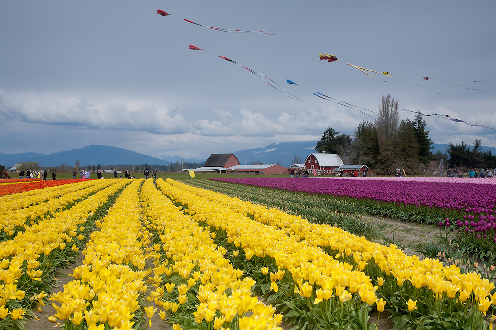 North America, United States, Washington, La Conner, tulip fields in bloom at annual Skagit Valley Tulip Festival, held in April
