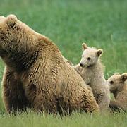 Alaskan Brown Bear, (Ursus middendorffi) Mother and two cubs resting. Alaskan Peninsula.