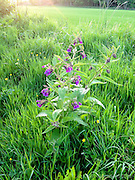 Images taken by Kevin Greenfield during an evening walk by the River Tweed in the Scottish Border, near Selkirk. Flowers by the River Tweed, near Selkirk