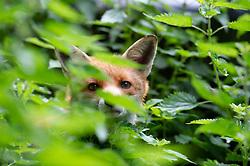 Red fox cub (vulpes vulpes), looking through undergrowth, Staffordshire, England, UK.<br /> Photo: © Ed Maynard<br /> 07976 239803<br /> www.edmaynard.com