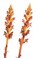 Broomrape, Orobanche gracilis, Queyras, France, Europe