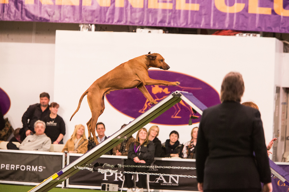 New York, NY - 8 February 2014. Tavari, a Rhodesian ridgeback, climbing the A-frame as the judge looks on. Tavari placed fourth in his class, dogs 24-inches and more at the withers.