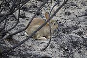 Rabbit on remains of burnt heathland. Upton Heath, Dorset, UK.