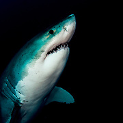 A portrait of a a great white shark (Carcharodon carcharias) in deep water, producing a black background. Image made off Guadalupe Island, Mexico.