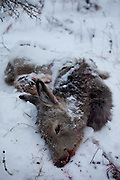 From hunters shot deer in the Yakutian Taiga a few hundred kilometers from the city of Yakutsk. Yakutsk (Russian: ???????) is a city in the Russian Far East, located about 4° (450 kilometres) south of the Arctic Circle. It is the capital of the Sakha (Yakutia) Republic in Russia with a major port on the Lena River. The city has a population of 264.000 (2009). Yakutsk is one of the coldest cities on Earth. The average monthly winter temperature in January is around -43,2 °C. Yakutsk, Jakutsk, Yakutia, Russian Federation, Russia, RUS, 24.01.2010.