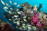 Damsels and Butterflyfish on a Colorful Coral Bommie<br /> <br /> Shot in Indonesia