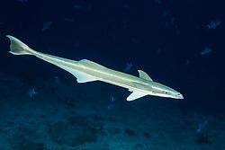 Echeneis naucrates, Gstreifter Schiffshalter, Slender Suckerfish, sharksucker, Malediven, Indischer Ozean, Ari Atoll, Maldives, Indian Ocean